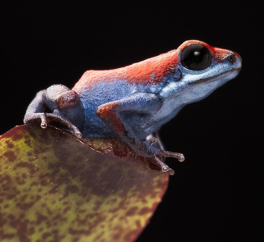 Animal Photograph - Poison Dart Frog by Dirk Ercken
