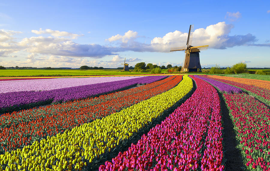 Tulips and Windmill Photograph by JacobH