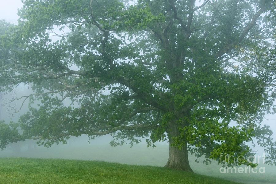 Quercus Alba Photograph - White Oak Tree In Fog by Thomas R Fletcher