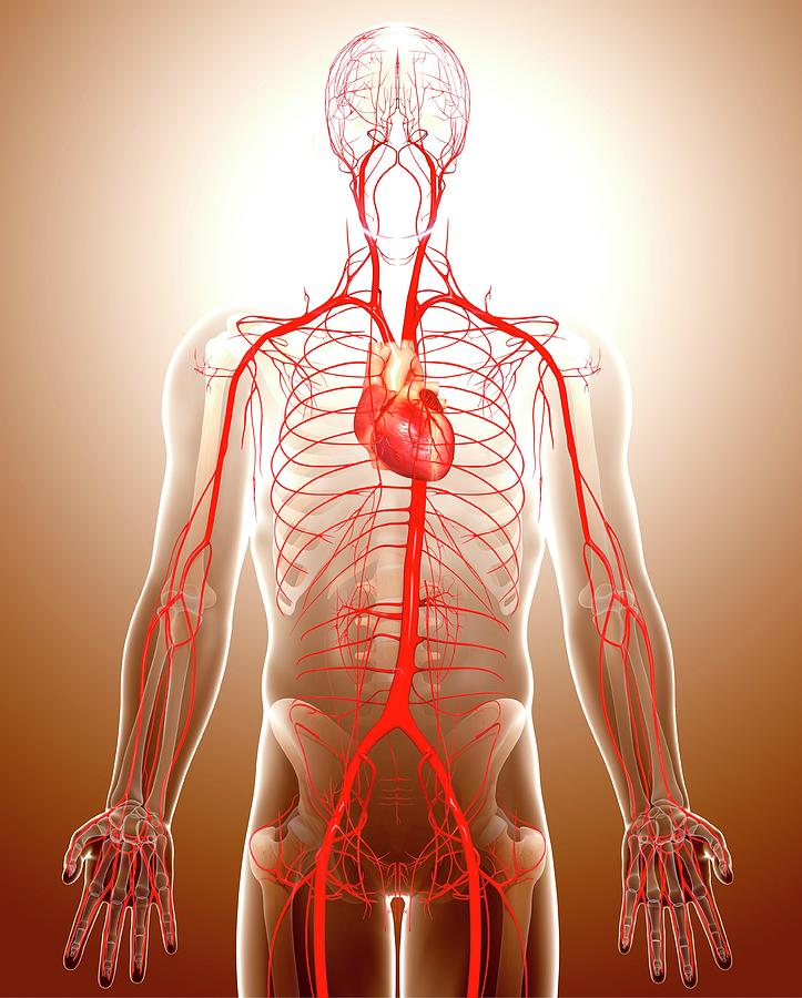 Artwork Photograph - Cardiovascular System by Pixologicstudio/science Photo Library