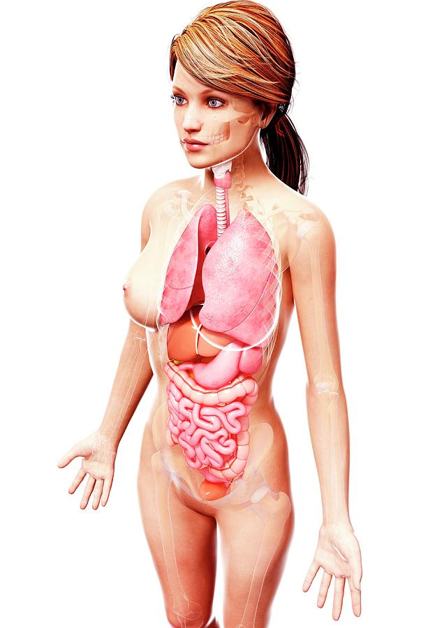 Anatomical Photograph - Female Anatomy by Pixologicstudio/science Photo Library