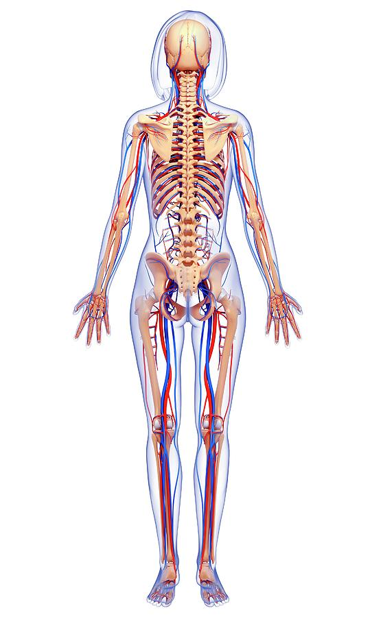 Artwork Photograph - Female Anatomy by Pixologicstudio/science Photo Library