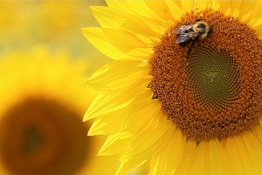 Sunflower Sun Flower Bee Field field Of Flowers flight 93 93 09-11-01 9-11  Photograph - 93 by Brenda Schwartz