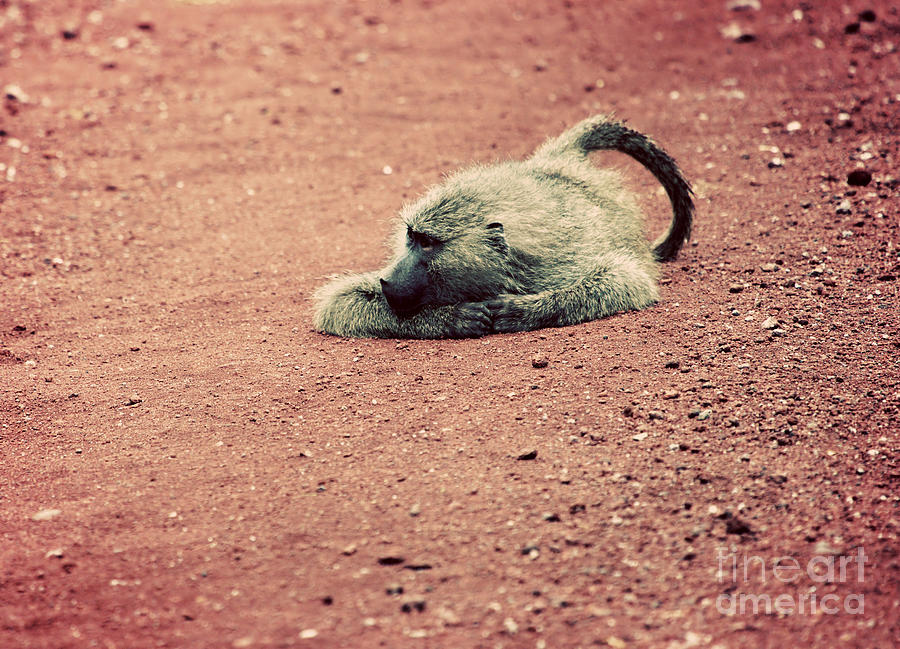 Baboon Photograph - A Baboon On African Road by Michal Bednarek