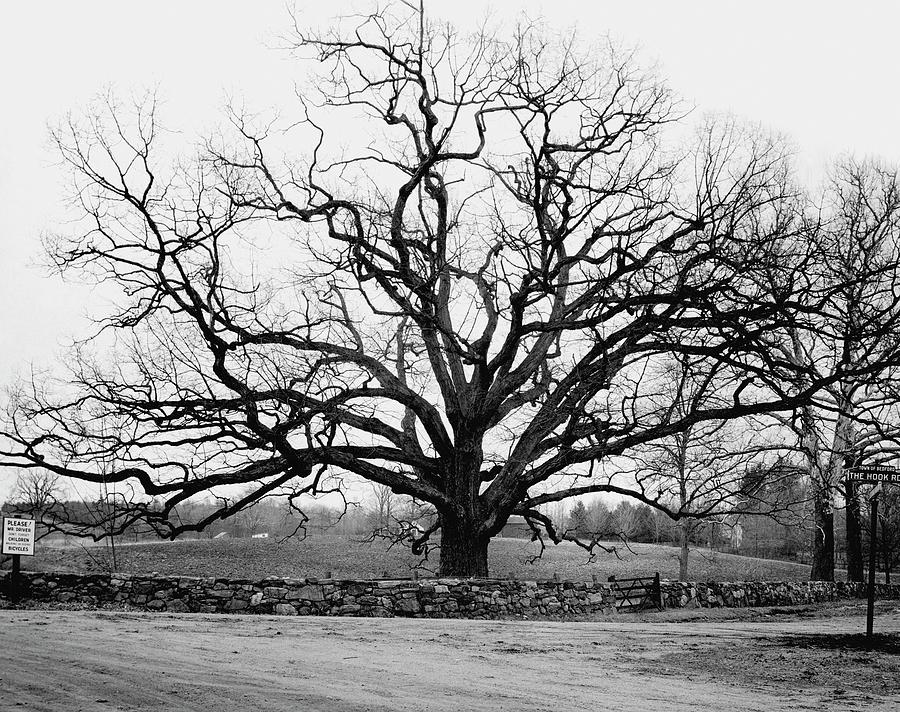 A Bare Oak Tree Photograph by Tom Leonard