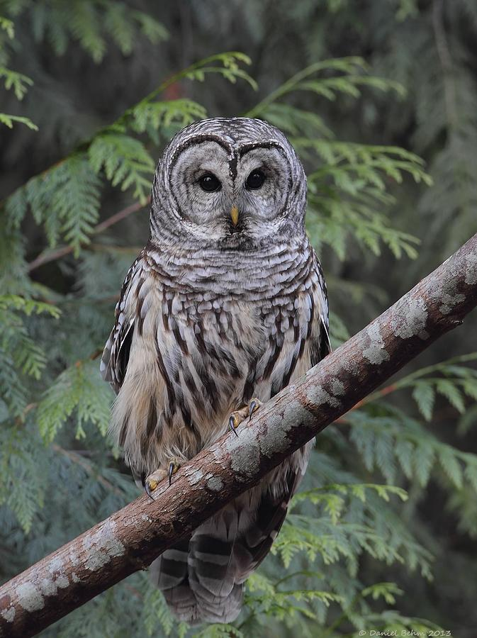 Barred Owl Photograph - A Barred Owl by Daniel Behm