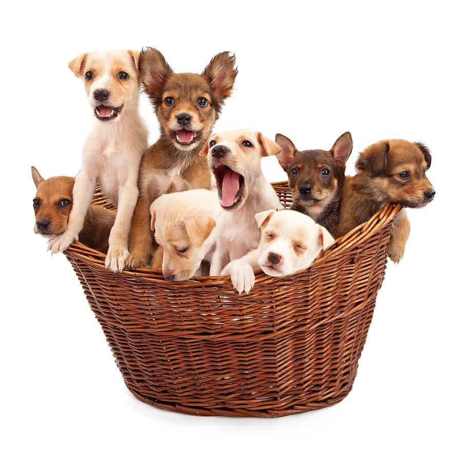 Dog Photograph - A Basket Of Puppies  by Susan Schmitz