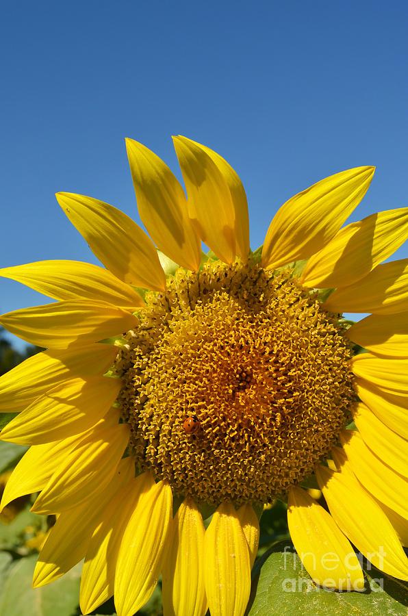 A Beautiful Day In The Sunflower Neighborhood Digital Art