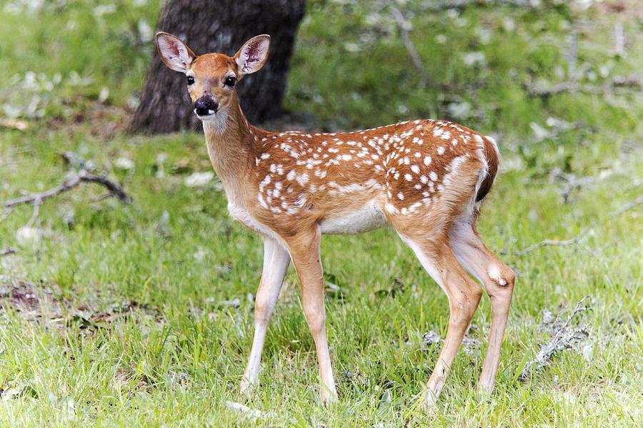 Deer Photograph - A Beautiful Fawn by Dana Moyer