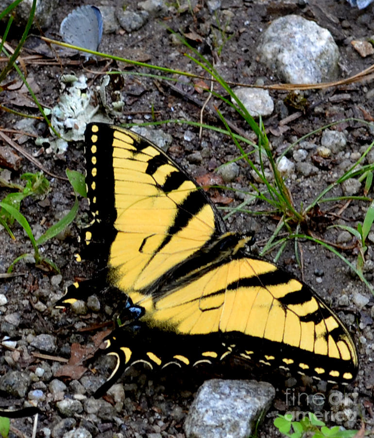Wildlife Photograph - A Beautiful Swallowtail Butterfly by Eva Thomas