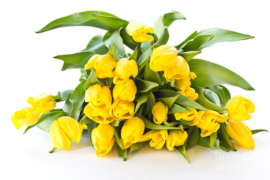 A Beautiful Photograph - A Beautiful Yellow Tulips by Boon Mee