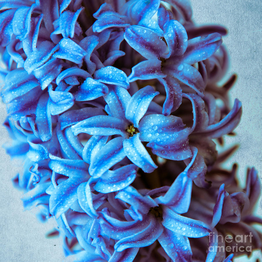 Blossom Photograph - A Beauty In Blue by Hannes Cmarits