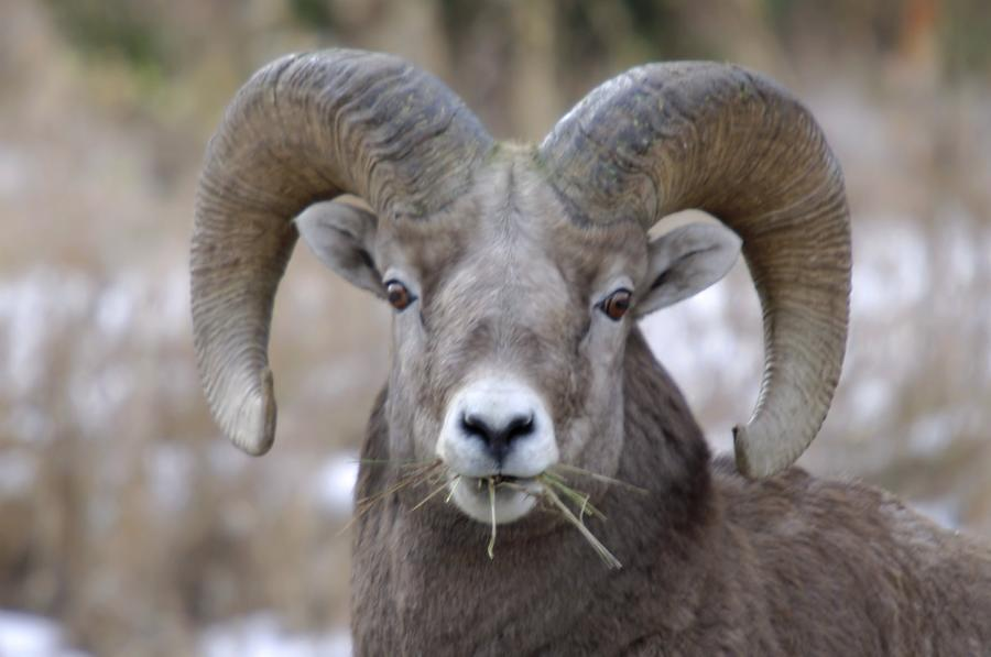 Animals Photograph - A Big Ram Caught With His Mouth Full by Jeff Swan