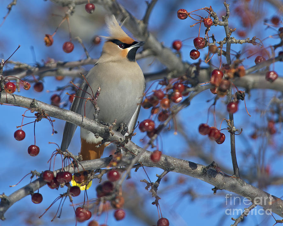 Festblues Photograph - A Bird For Its Crest.. by Nina Stavlund