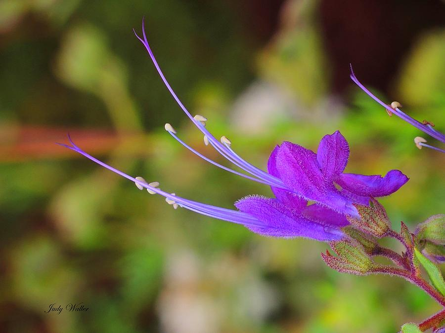Garden Photograph - A Bit Of Purple by Judy  Waller