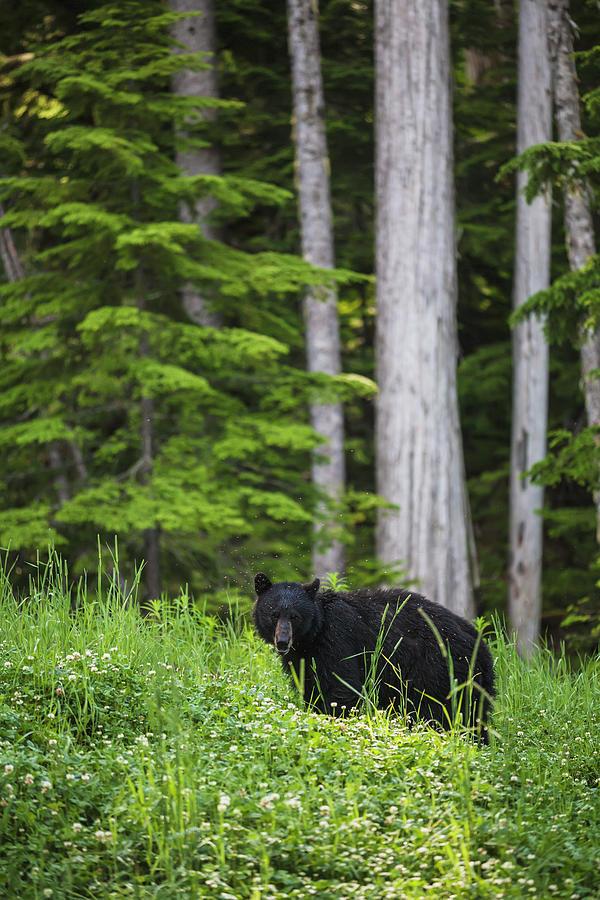 A Black Bear Ursus Americanus Feeding Photograph by Joel Koop / Design Pics