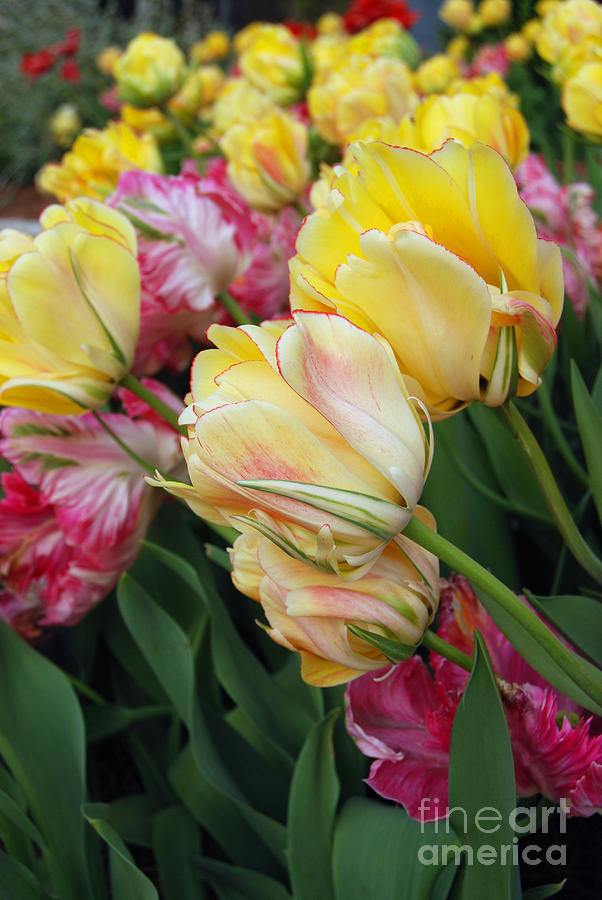 Tulip Digital Art - A Bouquet Of Tulips For You by Eva Kaufman