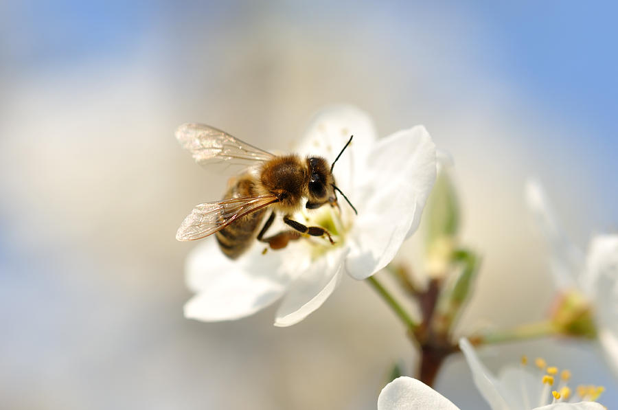 A bumble bee pollinating on a white flower Photograph by Madzia71