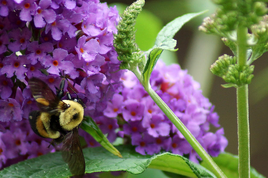 Bumblebee Photograph - A Bumblebee In The Garden by Kim Pate