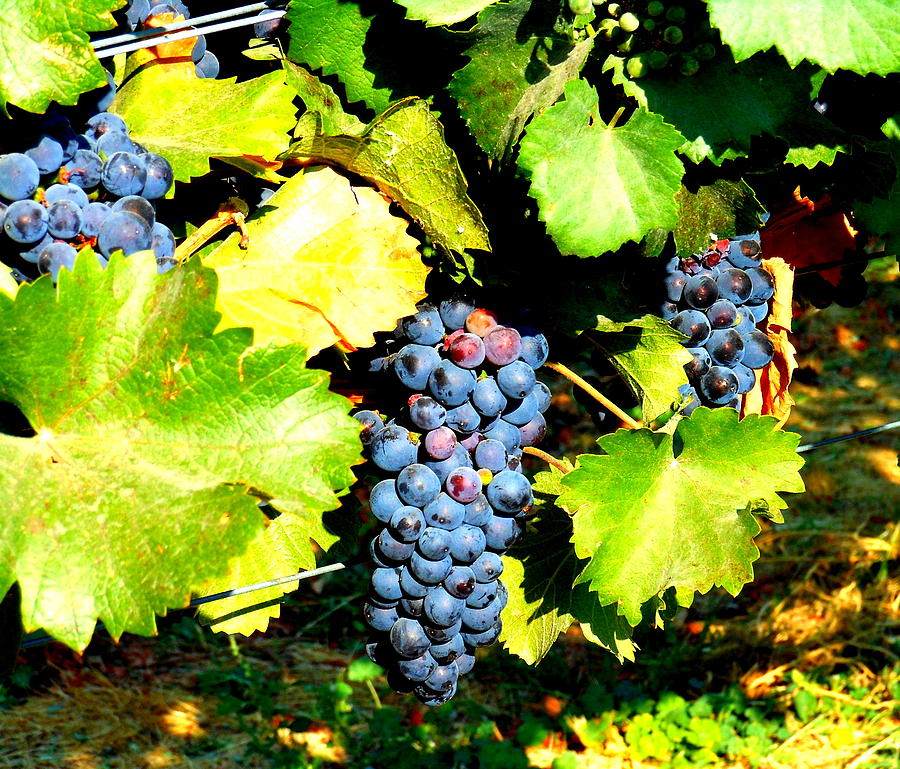 Grapes Photograph - A Bunch Of Grapes by Kay Gilley