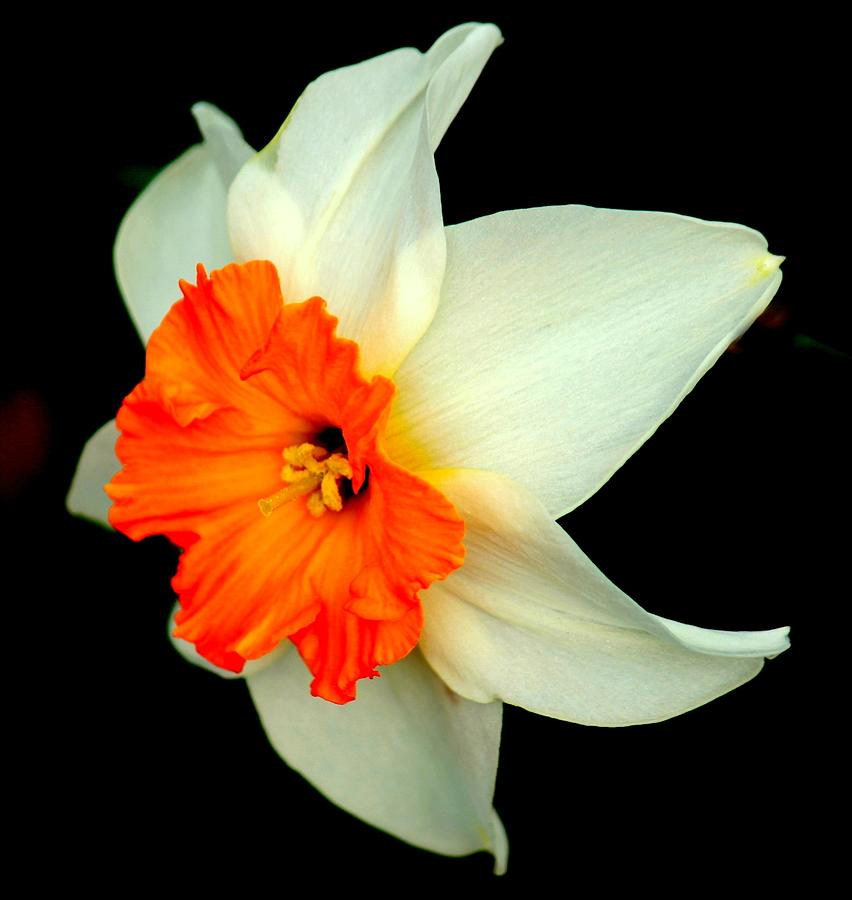 Daffodil Photograph - A Burst Of Springtime Glory by Rosanne Jordan