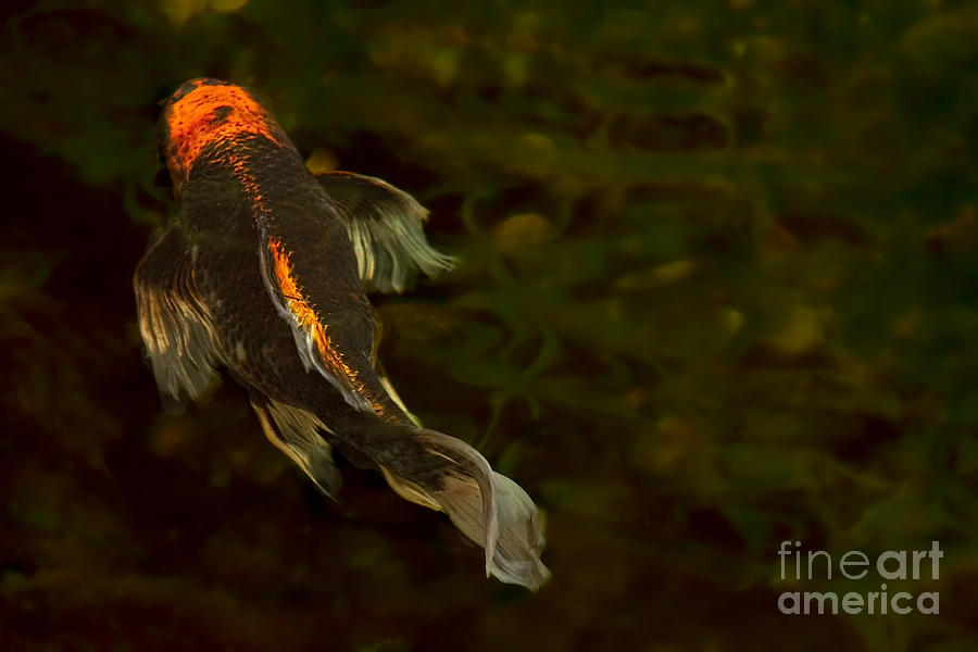 Koi Photograph - A Butterfly by Marilyn Cornwell