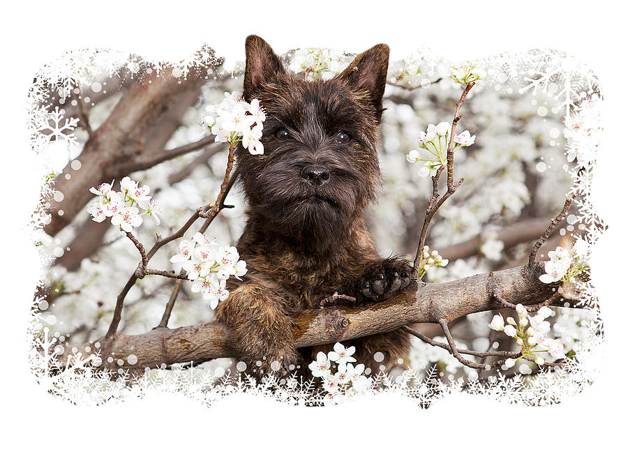 Cairn Terrier Photograph - A Cairn In A Pear Tree by Heidi Marcinik