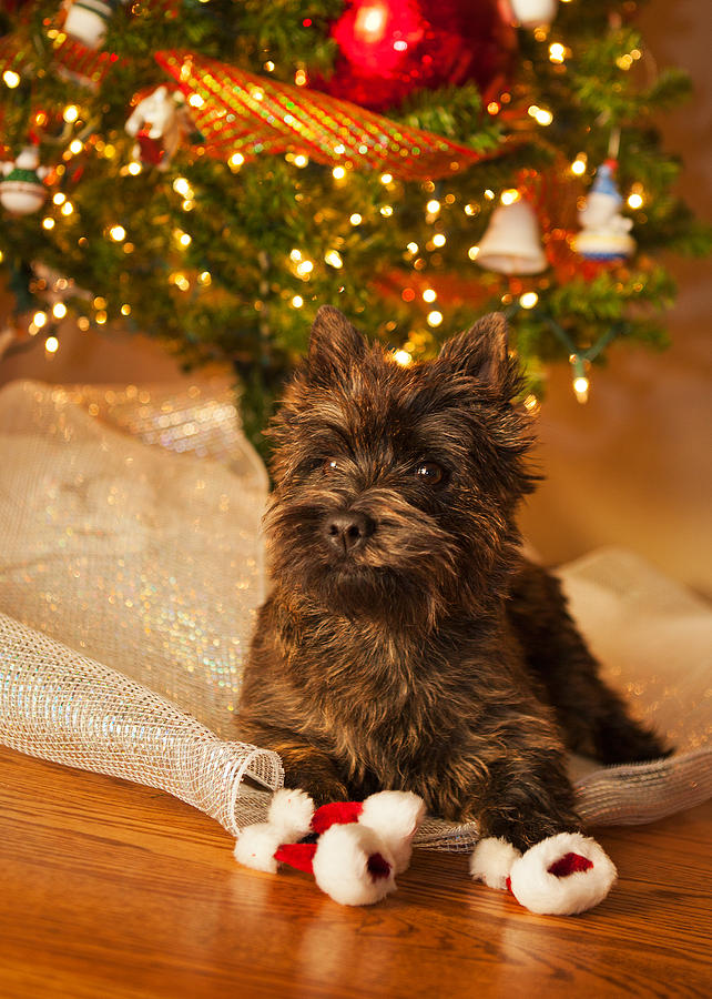 Cairn Terrier Photograph - A Cairn Terrier Christmas Portrait by Heidi Marcinik