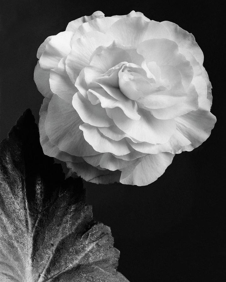 A Camellia Flower Photograph by J. Horace McFarland