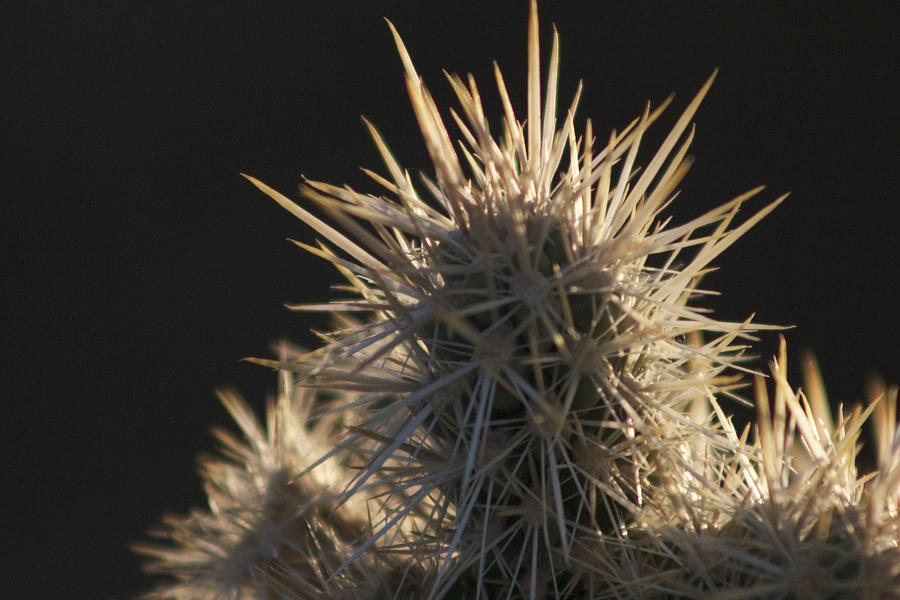 Jtnp Photograph - A Cholla Cactus I by Carolina Liechtenstein