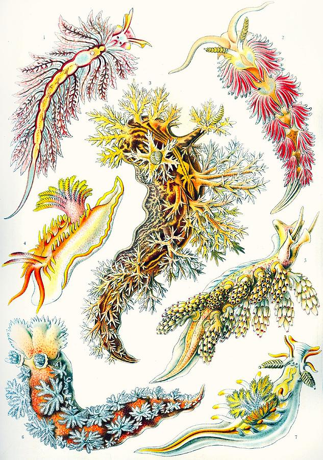 Vertical Drawing - A Collection Of Nudibranchia by Ernst Haeckel