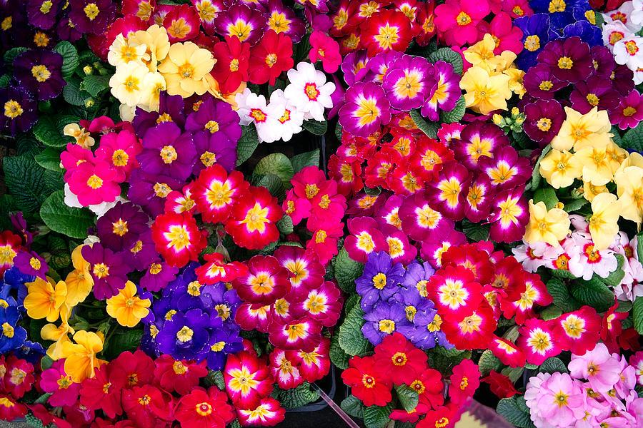 A colorful flower Photograph by Atsushi Hayakawa