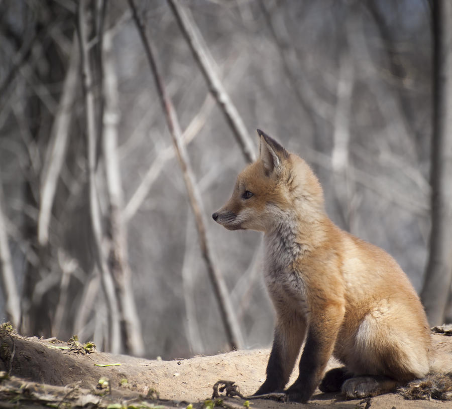 Kit Fox Photograph - A Cute Kit Fox Portrait 2 by Thomas Young