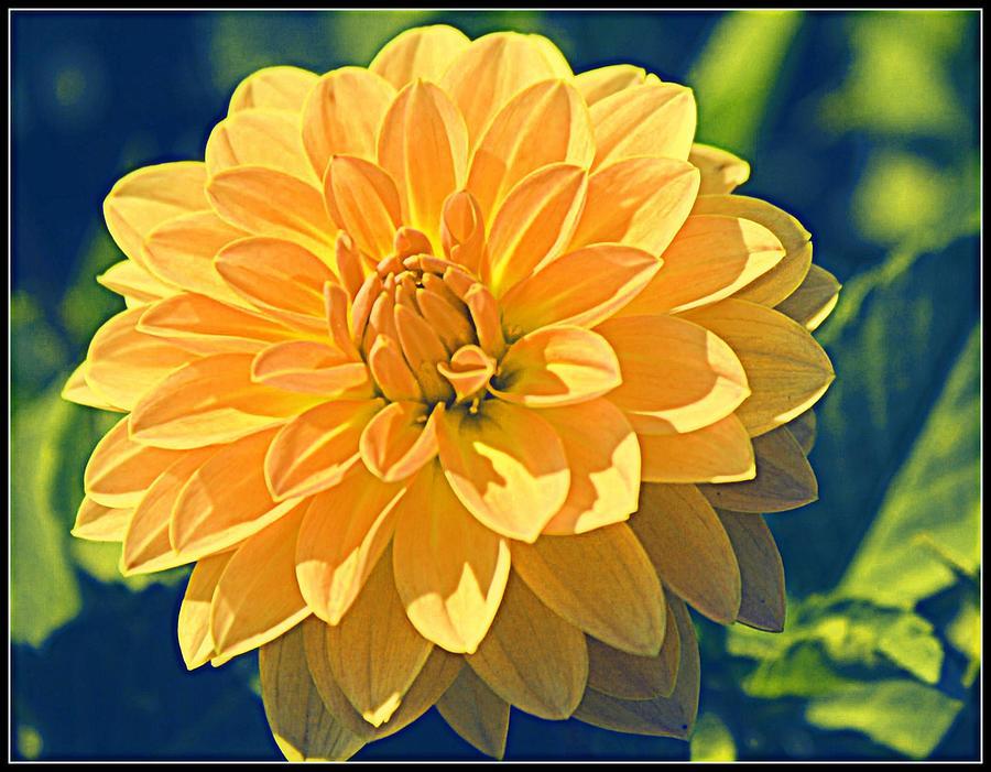 Dahlia Photograph - A Dahlia In Autumn by Dora Sofia Caputo Photographic Design and Fine Art