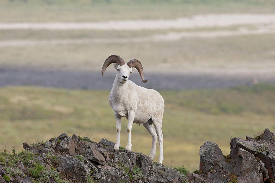 2010 Photograph - A Dall Sheep Ram Poses On Marmot Rock by Hugh Rose