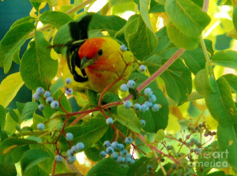 Western Tanager Photograph - A Day With Mr. Tanager 3 by Jacquelyn Roberts