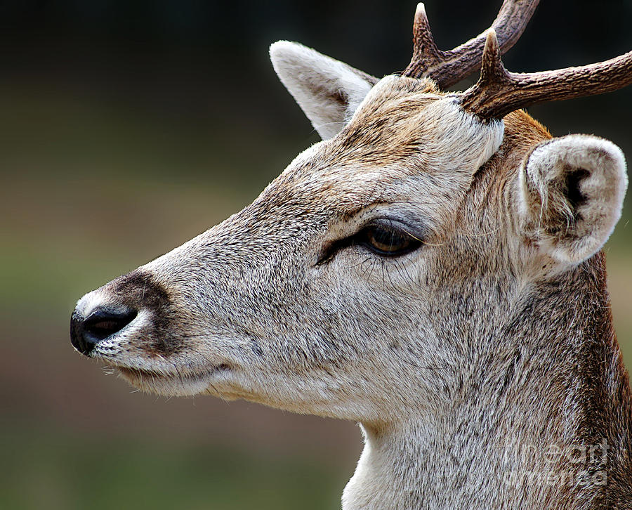 Deer Photograph - A Dears Look by Ben Yassa