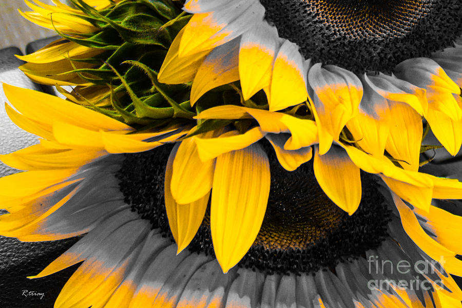 Sunflower Photograph - A Different Kind Of Sunflower by Rene Triay Photography