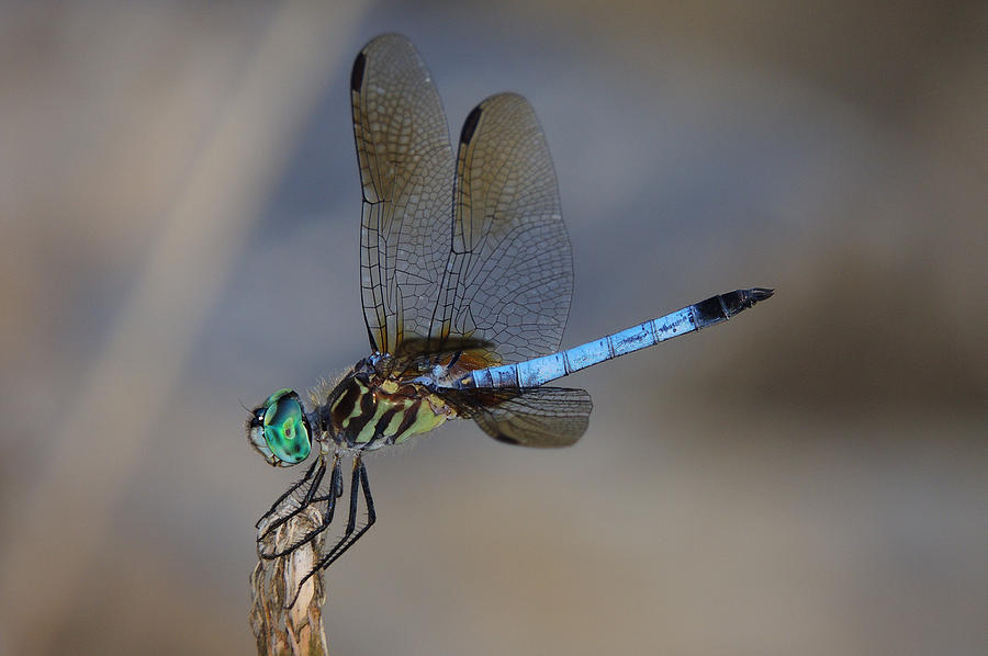 Dragonfly Photograph - A Dragonfly Iv by Raymond Salani III