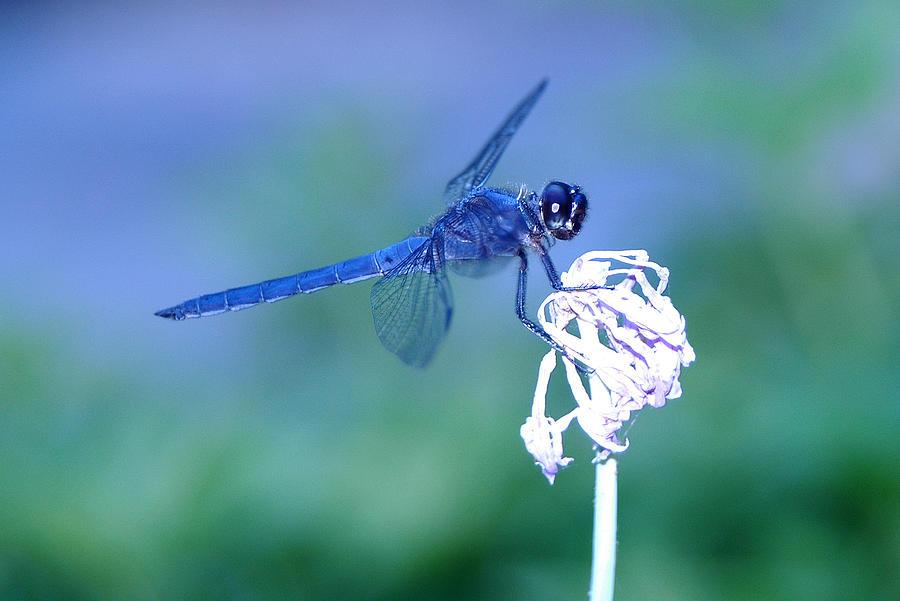 A Dragonfly V Photograph by Raymond Salani III