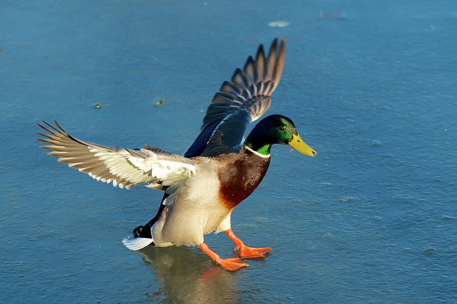 Anas Platyrhynchos Photograph - A Drake Lands On An Icy Pond by Richard Wright