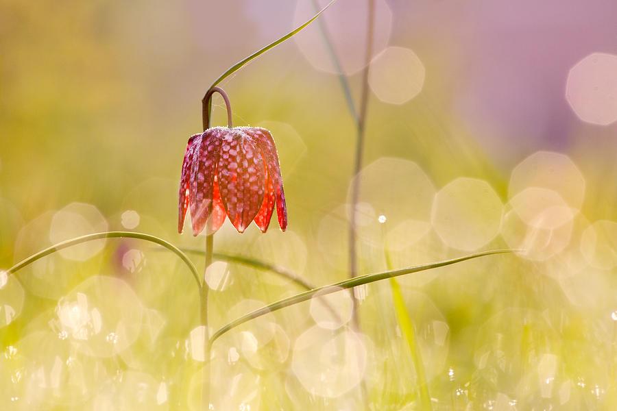 Fritillaria Meleagris Photograph - A Fairies Place II _snakes Head Fritillary by Roeselien Raimond