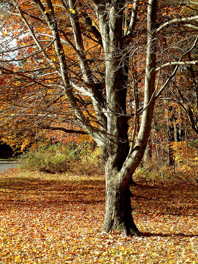 Tree Photograph - A Fall Tree In New England by Mike McCool