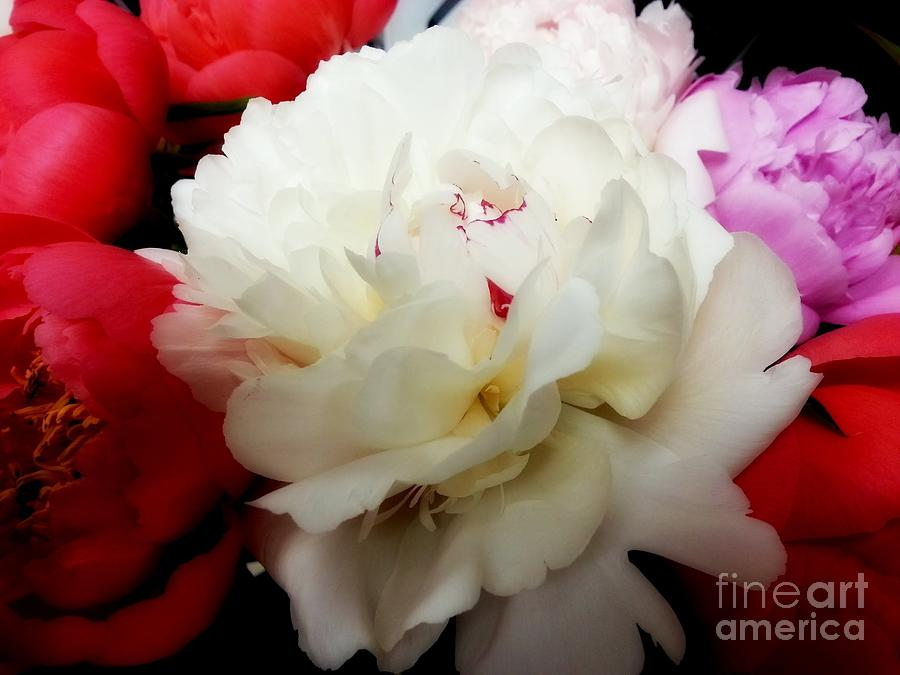 Peony Photograph - A Few Peonies by Heather L Wright