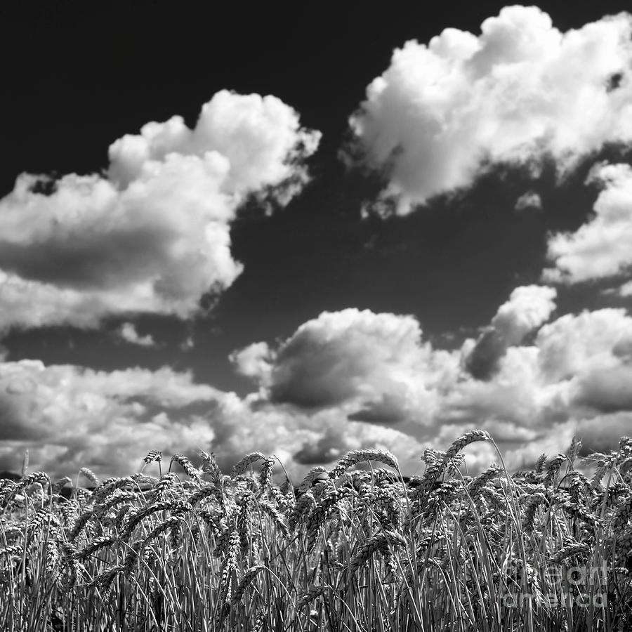 Wheat Photograph - A Field Of Wheat . Limagne. Auvergne. France by Bernard Jaubert