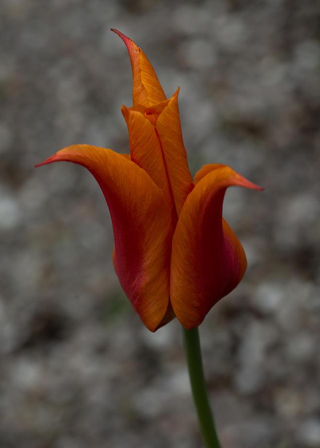 Flamboyant Flame Tulip Photograph - A Flamboyant Flame Tulip In A Pebble Garden by Georgia Mizuleva