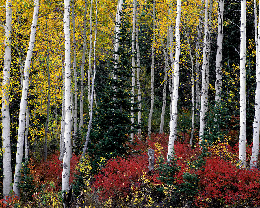Aspen Photograph - A Forest Of Color by Leland D Howard