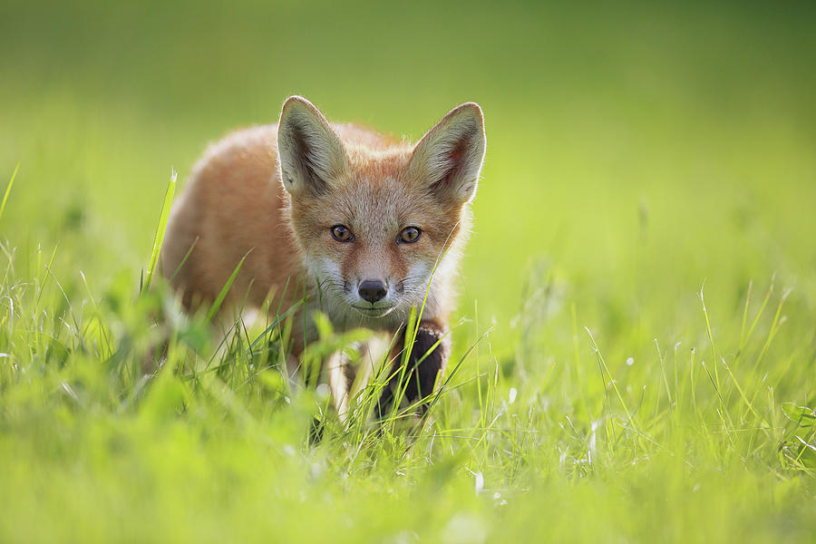 Grass Photograph - A Fox In The Grass  Montreal, Quebec by Vladislav Kamenski