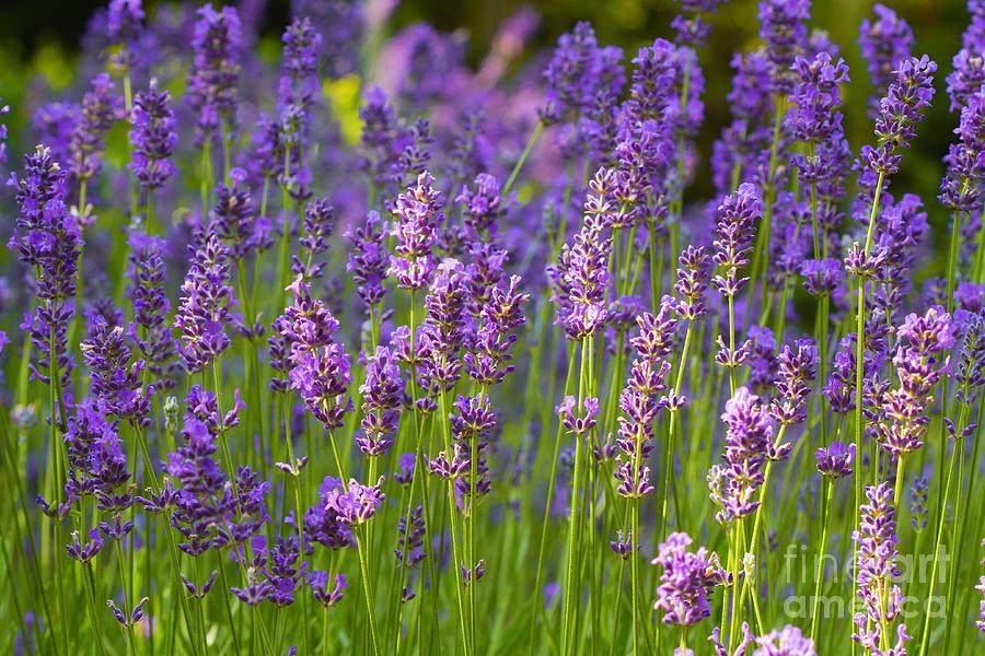 Lavender Photograph - A Friendly Summer Day by Juergen Klust