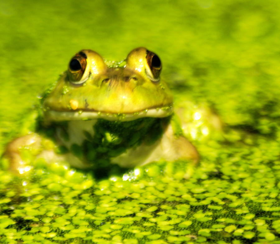 Green Algae Photograph - A Frogs Day by Optical Playground By MP Ray
